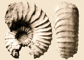 Ammonites deverioides